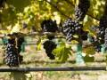 Drip Irrigation with grapes