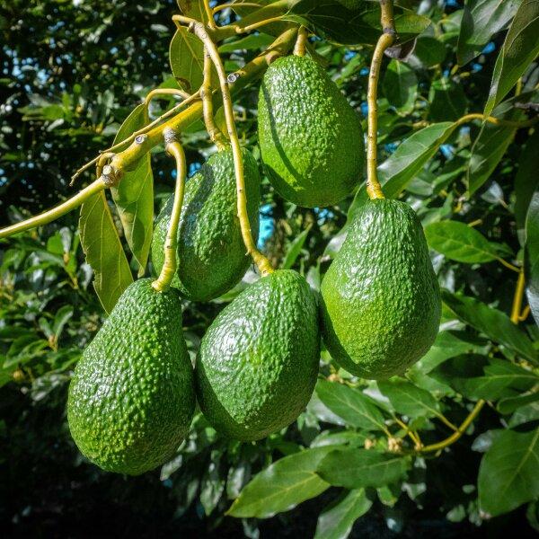 Avocado Harvest Season is Underway Across New Zealand